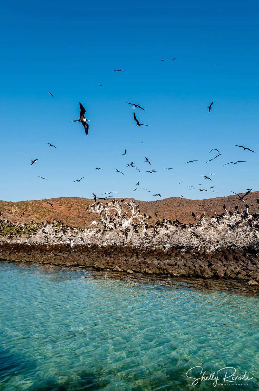Isla Espiritu Santo rookery with frigate birds