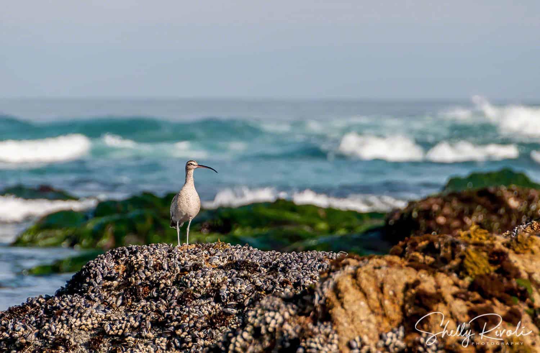 sea bird whimbrel at Monterey
