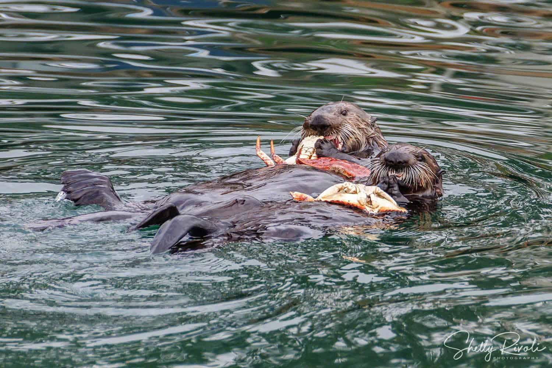 sea otters eating crabs at Morro Bay